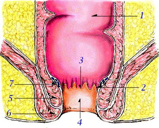 肛門の解剖