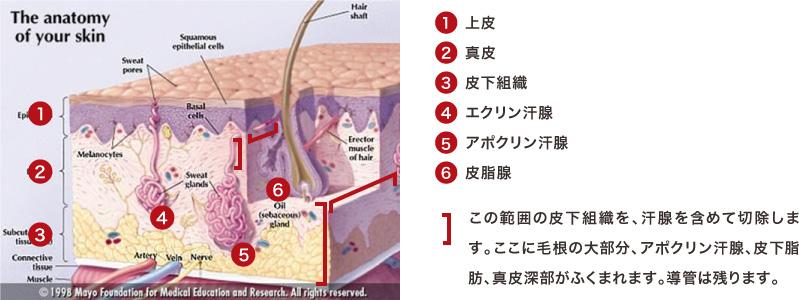 腋の下の皮膚の解剖