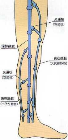 深部静脈と表在静脈